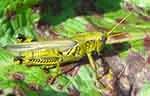 Locust pest on leaf