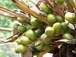 Palm tree nuts