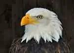 Bald eagle, USA symbol