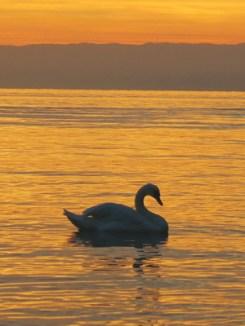Hamsa - Swan