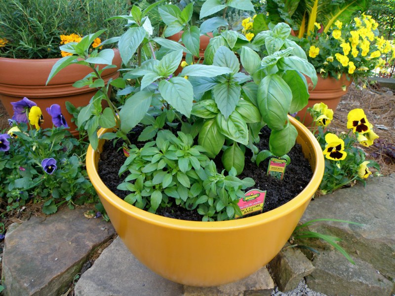 Grow basil by sowing seeds in indoors in early spring
