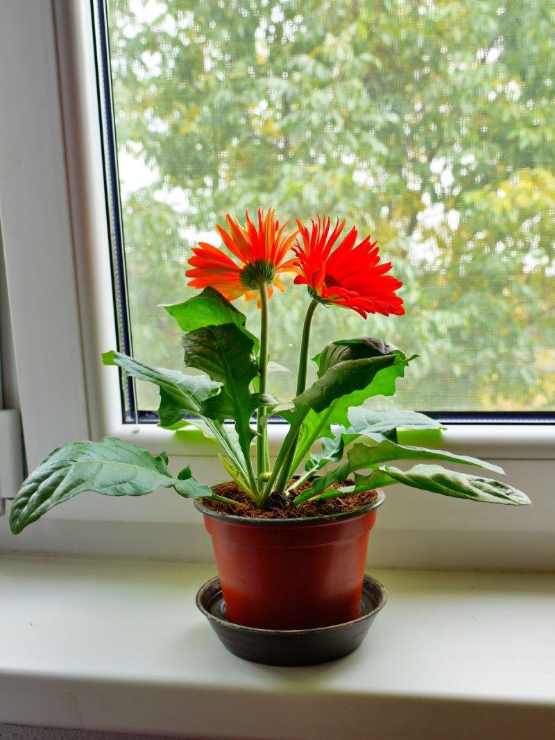 Gerbera Daisy home interior plant