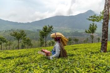 tea pickers in the tea plantations , Munnar, Kerala, India