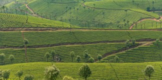 Rolling hills covered with tea plantations , Munnar, Kerala, India