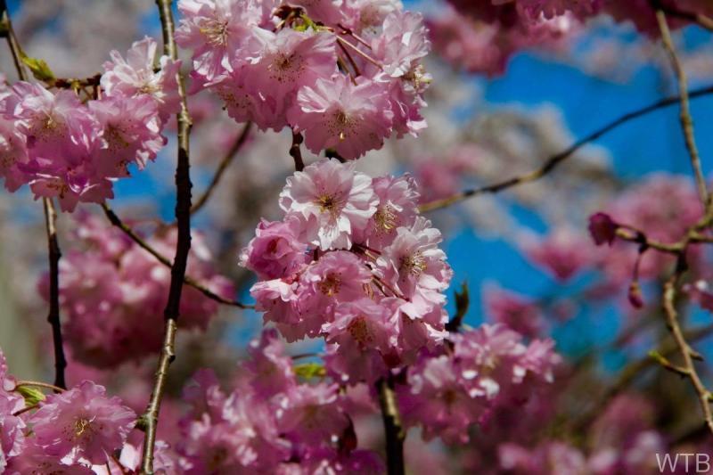 Sakura-15