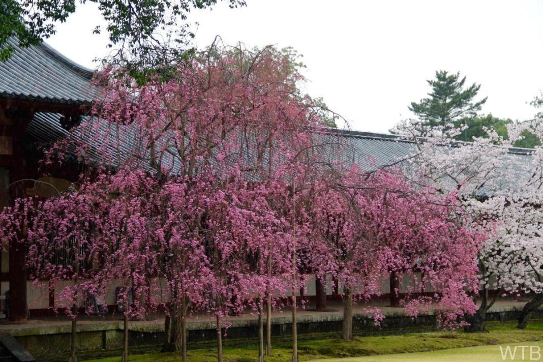 Sakura-19