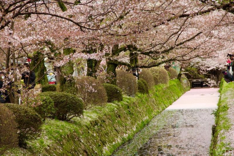 Sakura-24
