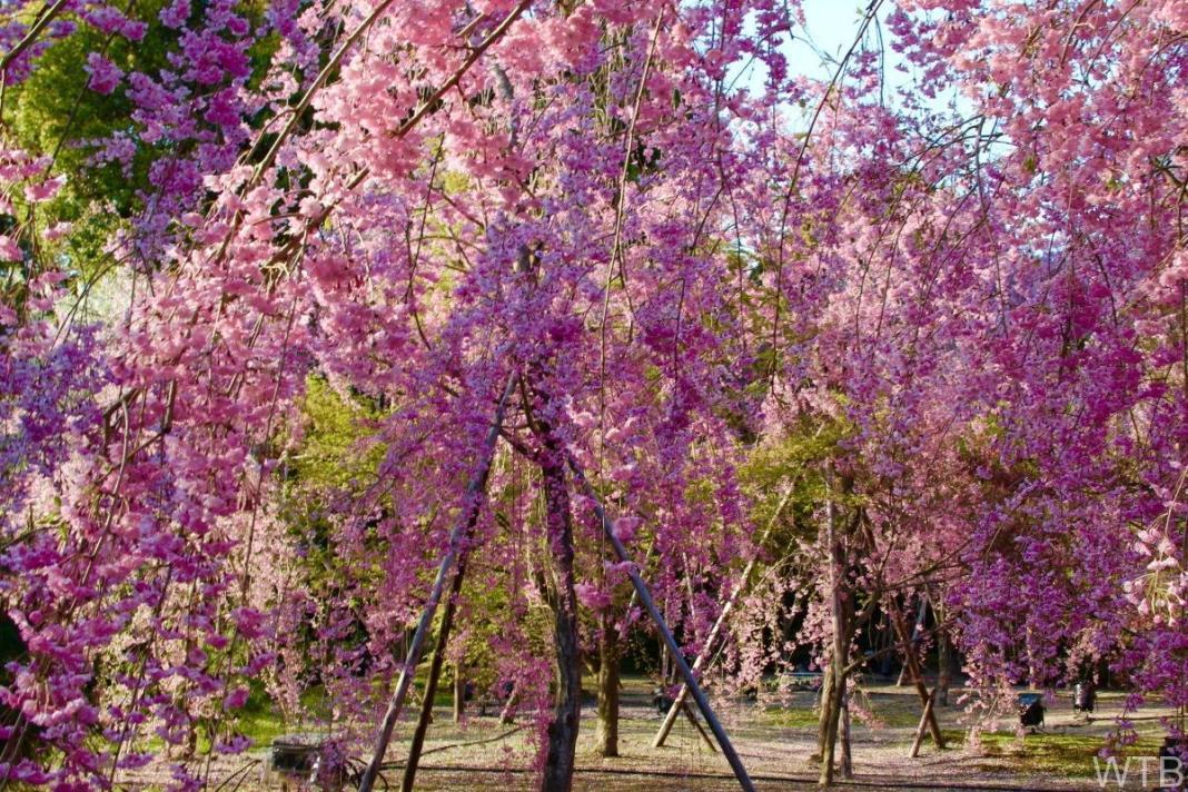 Sakura-34