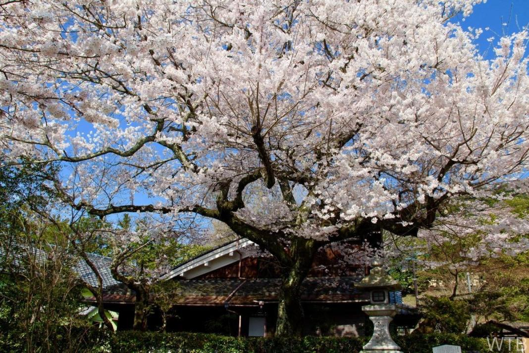 Sakura-8