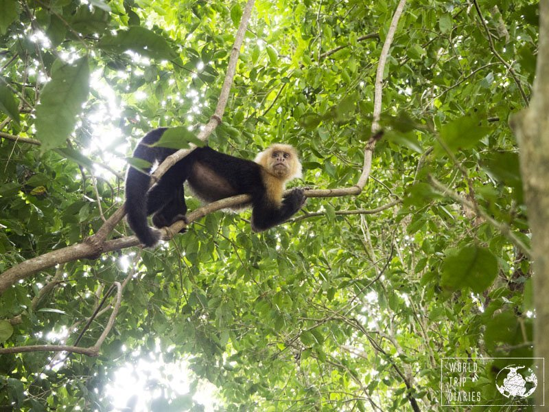 If you wish to see monkeys in the nature, you should visit Costa Rica. We've never seen so many of them anywhere in the world!