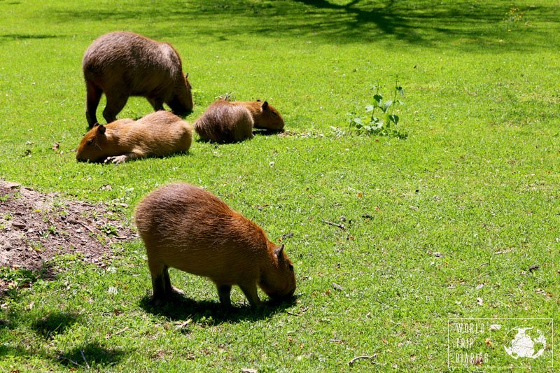 Baby Capybara, High Park, Toronto, Canada