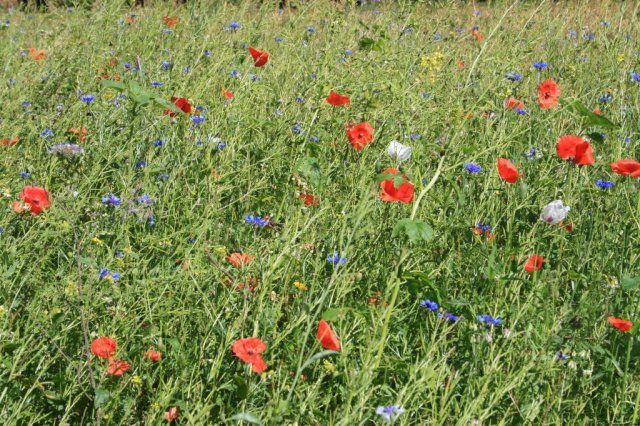 Belgium: The Ardennes poppy field