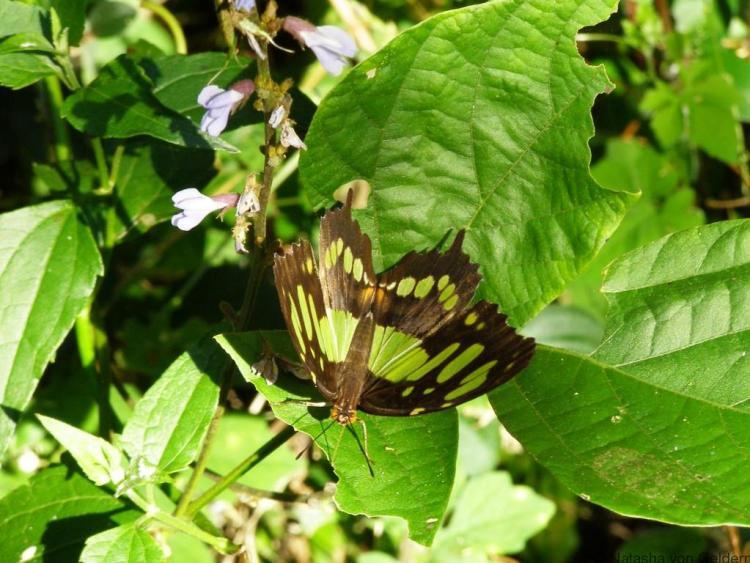 Butterflies in Vinales Valley, Cuba