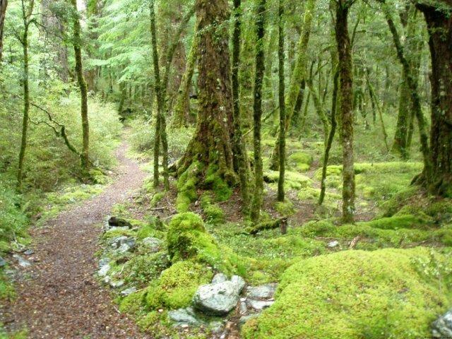 Beech forest, Dart Valley, New Zealand