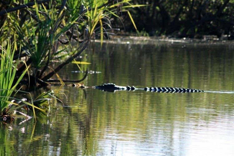 Saltwater crocodiles, Kakadu National Park, NT, Australia