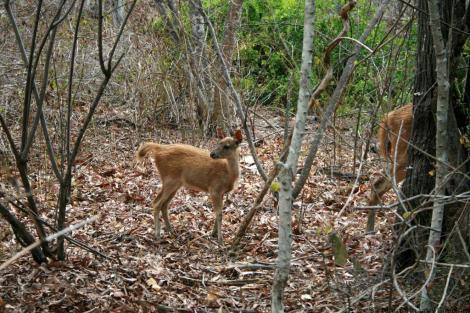 Menjangan Deer in West Bali National Park