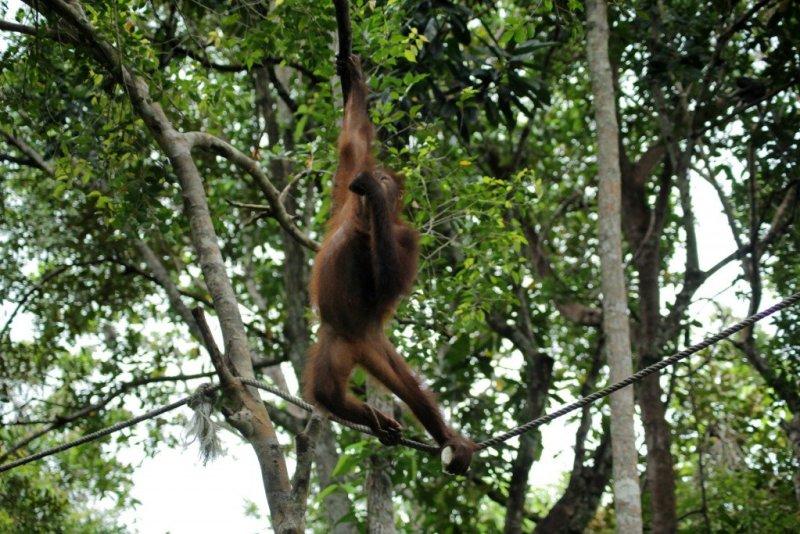 Orang-utans in Borneo - visit the Rasia Ria Nature Reserve in Sabah, Malaysia