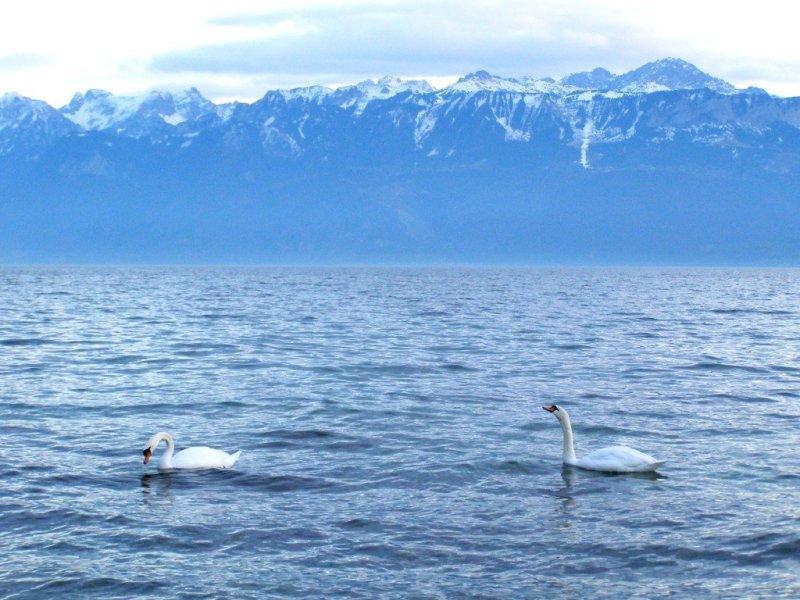 Swans and mountains Lake Geneva
