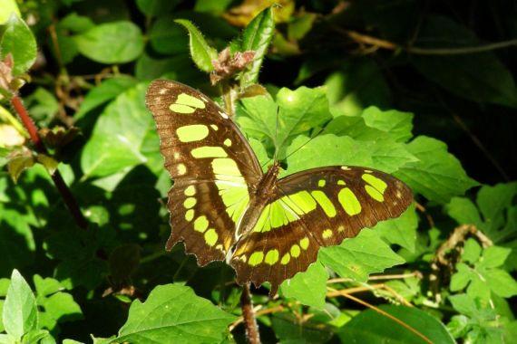 Vinales Valley butterflies, Cuba