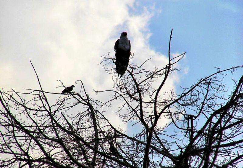 Fish Eagle in the Okavango Delta, Botswana