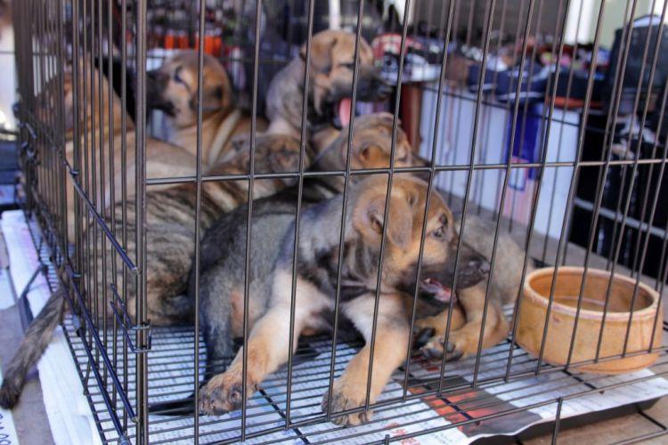 Puppies - Gaya Street Sunday Market Kota Kinabalu Malaysia