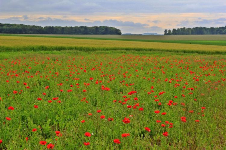 Poppy fields at Stonehenge, Wiltshire England