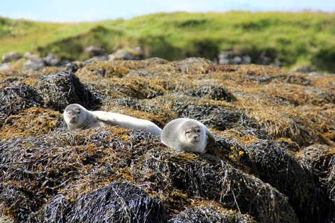 Baby harbour seals in Loch Dunvegan, Skye Scotland
