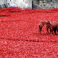 Tower of London poppies: Blood Swept Lands & Seas of Red
