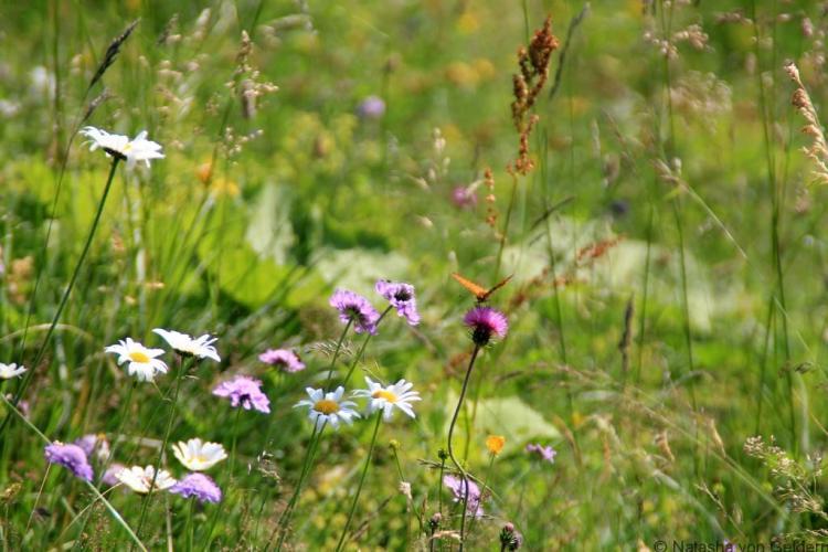 Switzerland alpine wildflowers TMB