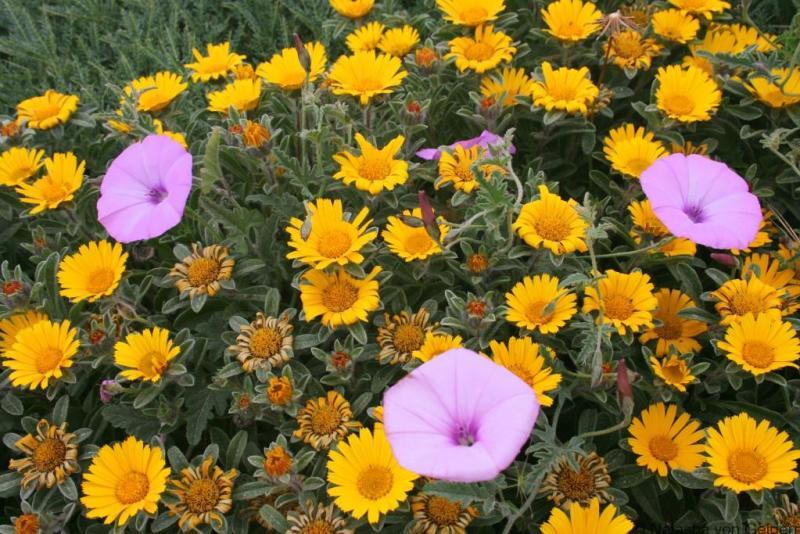 Corsican wildflowers