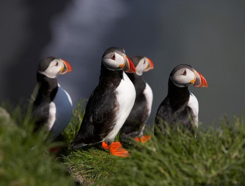 lundi-puffin-iceland