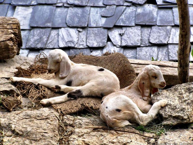 Baby goats in Kareri Village India