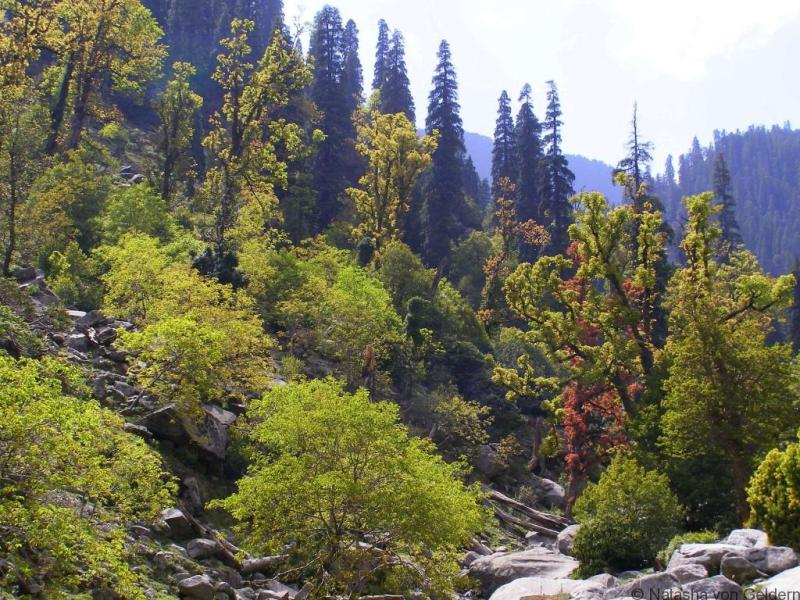 Himchal Pradesh forests India
