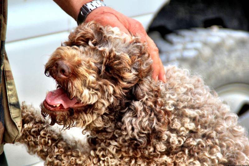 Truffle dog in Val d'Aso Le Marche Italy