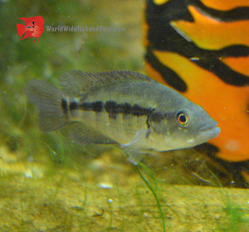 Dovii Cichlid 3 35 Live Fish And Tropical Pets
