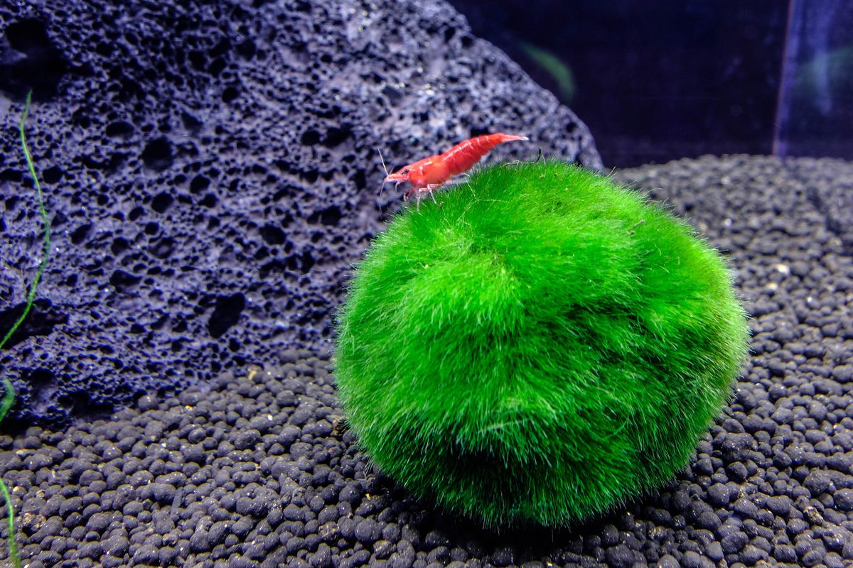 Red Fire Shrimp Live Fish And Tropical Pets