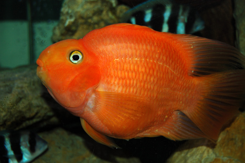 4 blood parrot cichlid live fish and tropical pets
