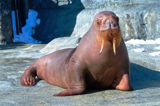 Nereus the Walrus