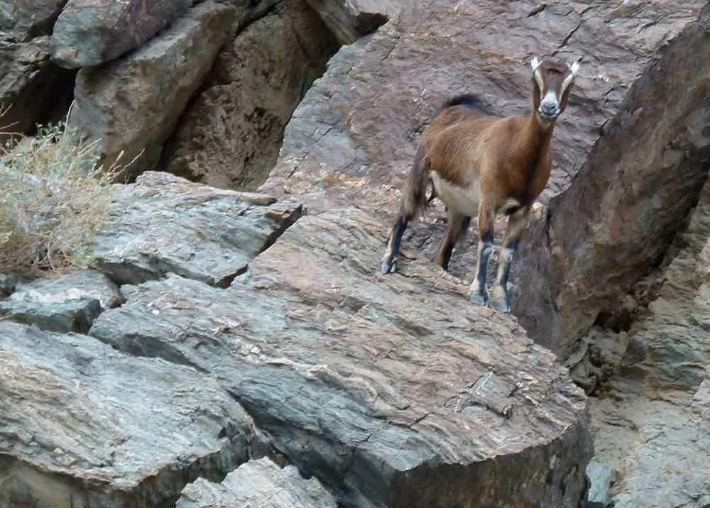 Mountain gazelle in the UAE countryside