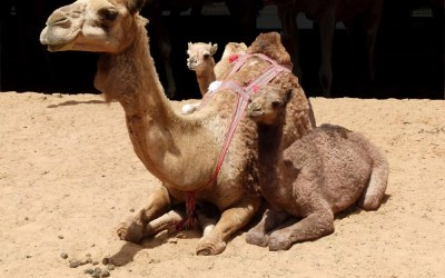 Getting Close to the Camels at Al Ain's Livestock Market