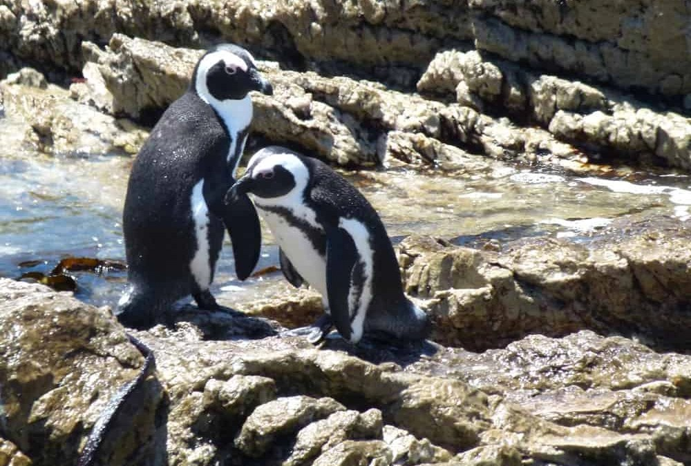 A Close Encounter with African Penguins at the Stony Point Sanctuary
