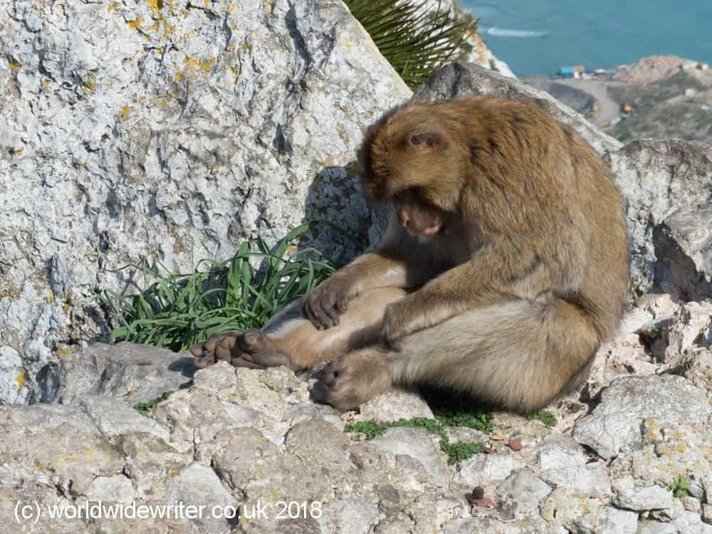 Monkey, Rock of Gibraltar