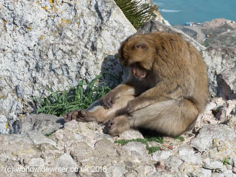 Monkey, Rock of Gibraltar