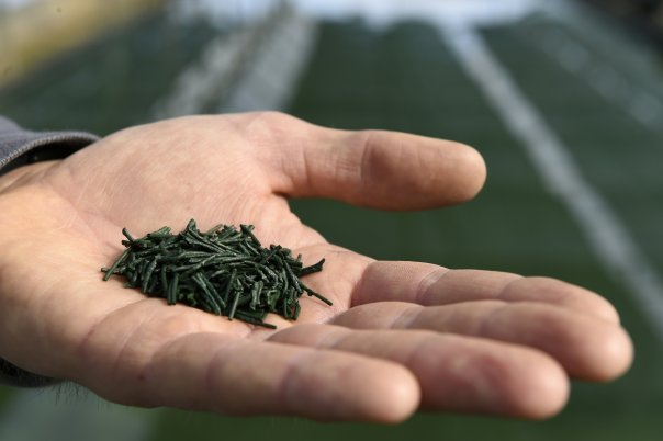 spirulina is one of the best aphrodisiacs