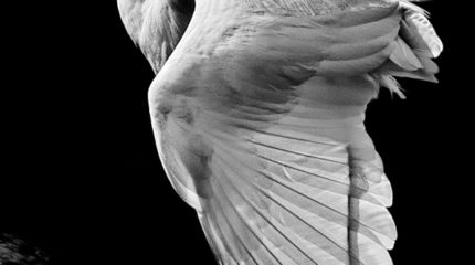 Wingspread Egret