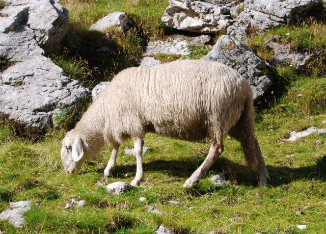 'The Jezersko-Solčava breed of sheep in its original environment. Molič Pasture, the Dleskovec Plateau, the Kamnik–Savinja Alps (northern Slovenia)' - photo found on Wiki Commons and attributable to Eleassar