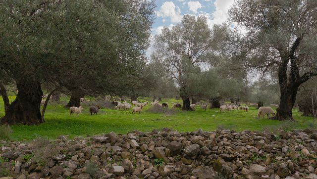 Sheep in Gortys, Crete, photographed by Jebulon and put into the public domain through Wiki Commons