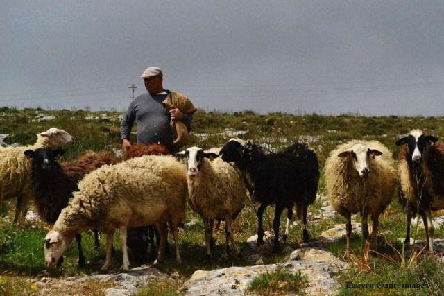 Sheep - a rare sight nowadays in Malta! Photo was taken by Doreen Gauci in the north of Malta and found on the Malta Weather Site