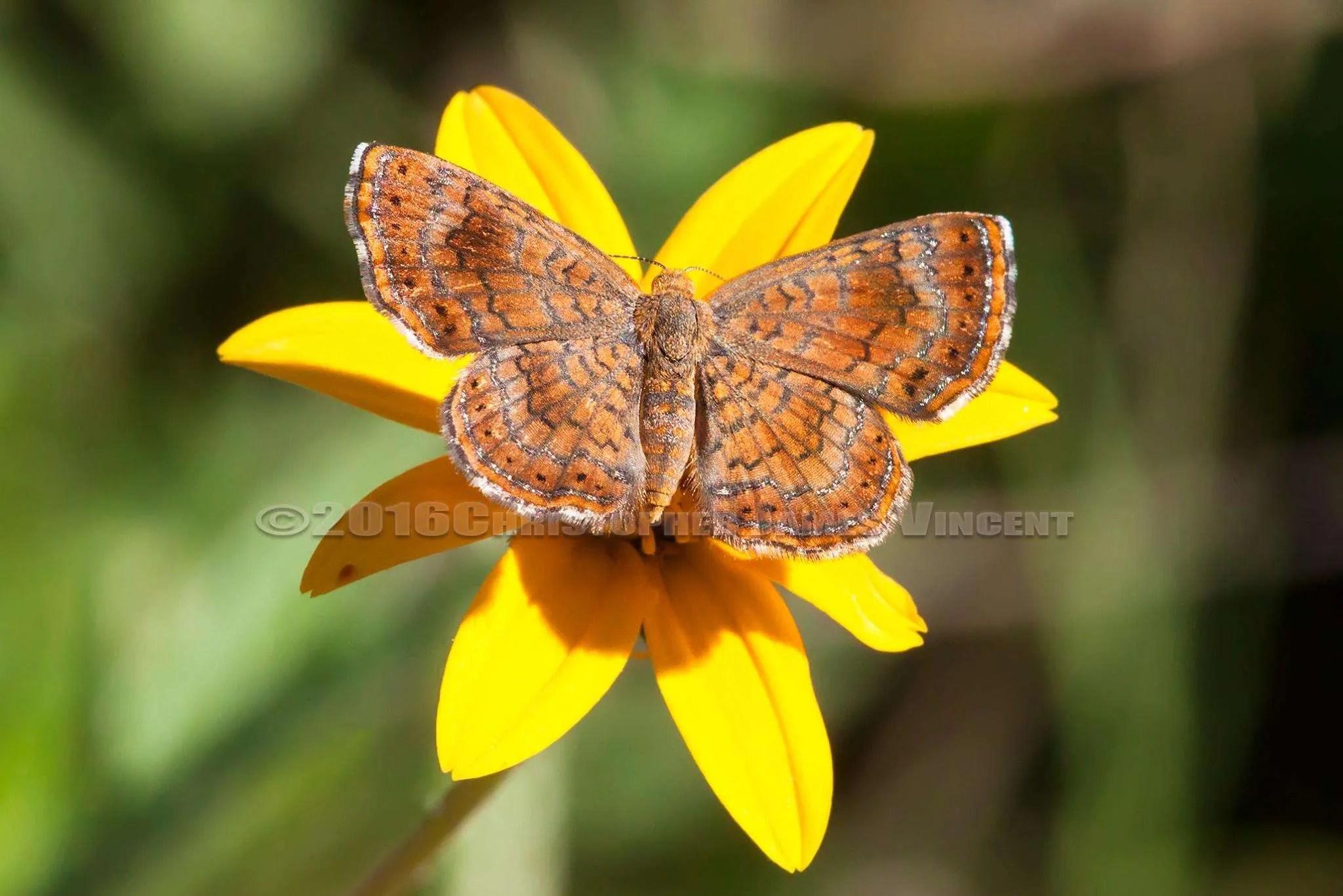 Arizona Metalmark Butterfly