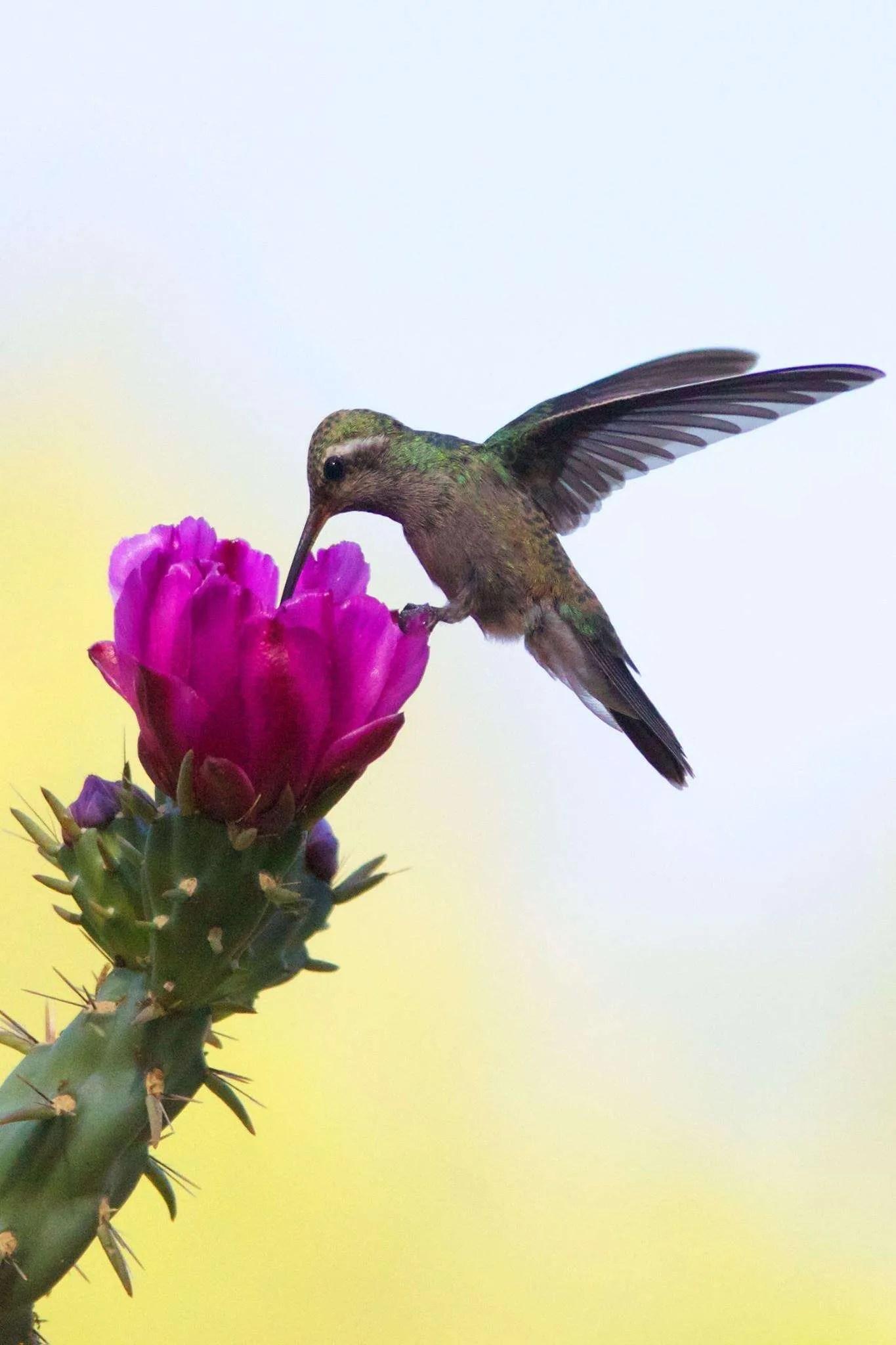 Broad-billed Hummingbird
